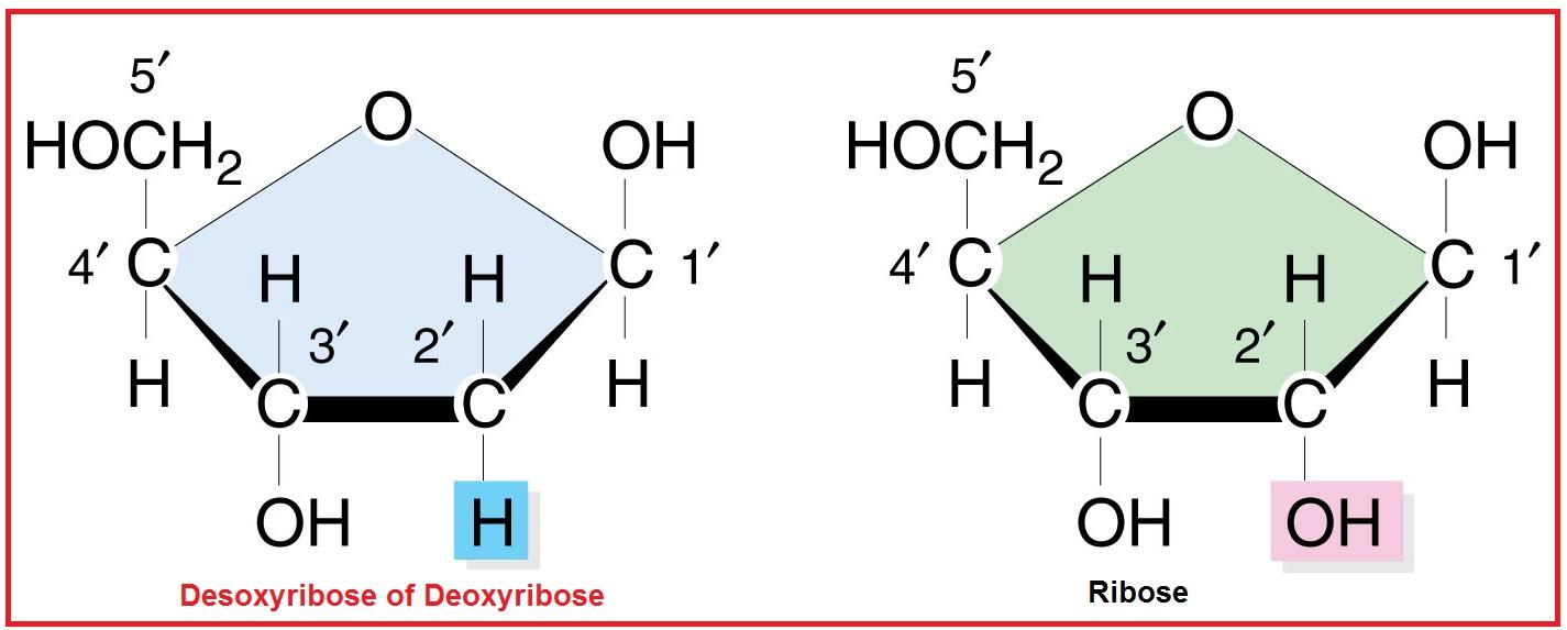 D Deoxyribose Desoxyribose