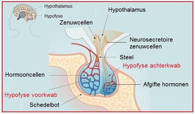 hormonen hersenen